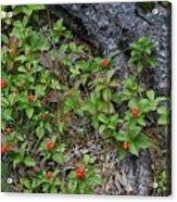Bunchberry Berries Acrylic Print
