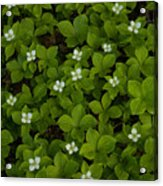 Bunchberry Carpet Acrylic Print