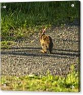 Bunny Eating On The Run Acrylic Print