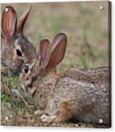Bunny Encounter Acrylic Print