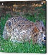 Bunny In The Backyard Acrylic Print