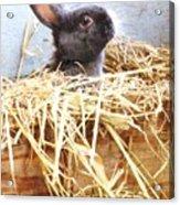 Bunny In The Straw Acrylic Print