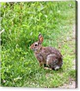 Bunny Rabbit Acrylic Print
