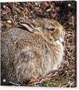 Bunny Siesta Acrylic Print