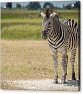 Burchell's Zebra On Grassy Plain Facing Camera Acrylic Print