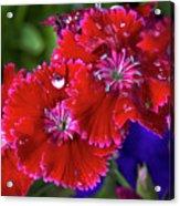 Burgandy Red Dianthus Acrylic Print