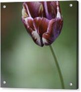 Burgandy Striped Tulip 2 Acrylic Print