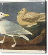 Burgomaster Gull Acrylic Print