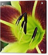 Burgundy And Yellow Lily Acrylic Print