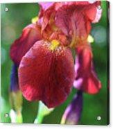 Burgundy Iris Acrylic Print