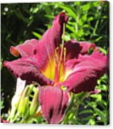 Burgundy Lily Acrylic Print