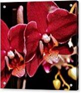 Burgundy Orchids Acrylic Print