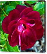 Burgundy Red Rose At Pilgrim Place In Claremont-california  Acrylic Print