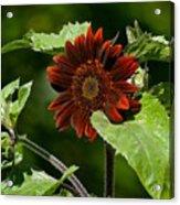Burgundy Red Sunflower Acrylic Print