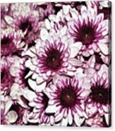 Burgundy White Crysanthemums Acrylic Print