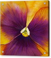 Burgundy Yellow Pansy Acrylic Print
