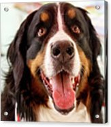Burmese Mountain Dog Acrylic Print
