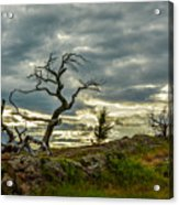 Burmis Tree And Wind Swept Pines Acrylic Print