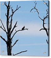Burnt-tree Osprey Acrylic Print