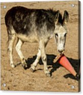 Burro Playing With Safety Cone Acrylic Print