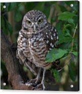 Burrowing Owl Color Version Acrylic Print