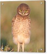 Burrowing Owl Fledgling I Acrylic Print