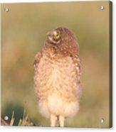 Burrowing Owl Fledgling II Acrylic Print