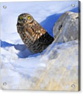 Burrowing Owl in Winter Acrylic Print