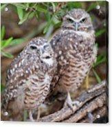 Burrowing Owl Pair  Acrylic Print