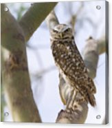 Burrowing Owl Perched On A Branch  Acrylic Print