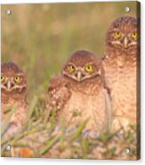 Burrowing Owl Siblings Acrylic Print by Clarence Holmes