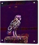 Burrowing Owl Small Owl Bird Nature  Acrylic Print