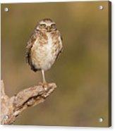 Burrowing Owl Taking A Break Acrylic Print