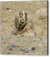 Burrowing Owl Tilted Head Acrylic Print