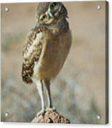 Burrowing Owlet-img_1414-2017 Acrylic Print