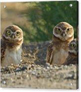 Burrowing Owls Acrylic Print