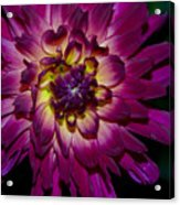 Burst Of Purple Acrylic Print