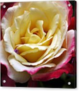 Burst Of Rose Acrylic Print