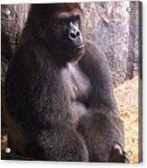Busch Gorilla Acrylic Print
