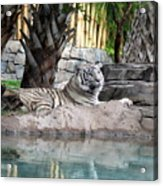 Busch Tiger Acrylic Print
