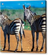 Bushnell's Zebras Acrylic Print