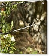 Bushtit On Branch In The Sun Acrylic Print