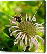 Busy As A Bee Acrylic Print by Valeria Donaldson