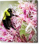 Busy As A Bumblebee Acrylic Print