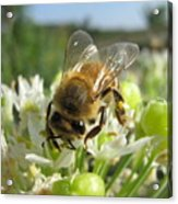 Busy Bee 5 Acrylic Print