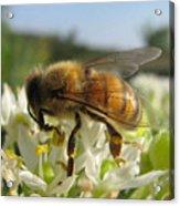 Busy Bee 6 Acrylic Print