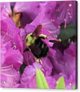 Busy Bee Collecting Pollen On Rhododendron  Acrylic Print