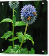 Busy Bees Acrylic Print