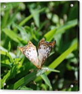 Butter Fly Acrylic Print
