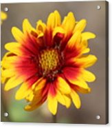 Butter Yellow And Crimson Red Coneflower Acrylic Print